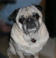 "Emmitt in his ""Have a Heart"" Pug Rescue Necklace - April 2007"